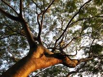 Παλαιό δέντρο στο ηλιοβασίλεμα Στοκ Εικόνες