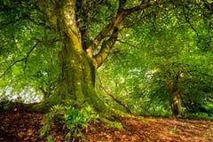 Παλαιό δέντρο στο σκωτσέζικο δάσος στοκ εικόνα με δικαίωμα ελεύθερης χρήσης