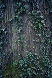 παλαιό δέντρο σύστασης λευκών φλοιών Κορμός δέντρων παλαιός ξύλινος ανασκόπη&sigm Λεπτομέρεια κορμών Στοκ Φωτογραφίες