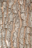 παλαιό δέντρο σύστασης λευκών φλοιών Ξύλο φύσης Στοκ Εικόνες