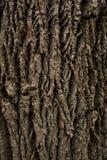 παλαιό δέντρο σύστασης λευκών φλοιών Στοκ Εικόνα