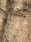 παλαιό δέντρο σύστασης λευκών φλοιών Στοκ Εικόνες