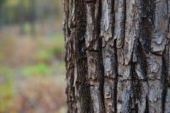 παλαιό δέντρο σύστασης λευκών φλοιών Στοκ φωτογραφίες με δικαίωμα ελεύθερης χρήσης