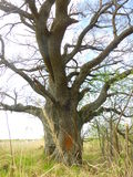 παλαιό δέντρο Στοκ Φωτογραφίες