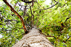 παλαιό δέντρο Στοκ εικόνα με δικαίωμα ελεύθερης χρήσης