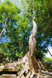Παλαιό δέντρο Banyan Beng Mealea Στοκ Εικόνες