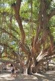 Παλαιό δέντρο Bayan Στοκ Φωτογραφίες