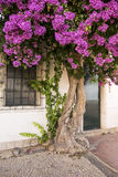 Παλαιό δέντρο bougainvillea Στοκ εικόνες με δικαίωμα ελεύθερης χρήσης