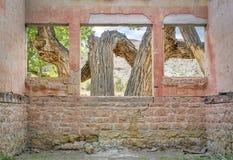 Παλαιό δέντρο cottonwood μέσω των παραθύρων Στοκ Εικόνες