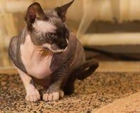 1 παλαιό έτος sphynx γατών Στοκ Εικόνες