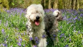 Παλαιό αγγλικό τσοπανόσκυλο μεταξύ του bluebell Στοκ εικόνα με δικαίωμα ελεύθερης χρήσης