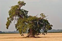 Παλαιό ανατιναγμένο δρύινο δέντρο στοκ εικόνες