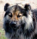 Παλαιό δασύτριχο σκυλί στοκ φωτογραφίες