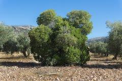 Παλαιό δείγμα του δέντρου φραουλών Στοκ φωτογραφία με δικαίωμα ελεύθερης χρήσης