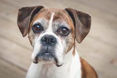 παλαιό λευκό πορτρέτου σκυλιών μπόξερ ανασκόπησης Στοκ Εικόνες