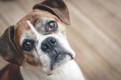 παλαιό λευκό πορτρέτου σκυλιών μπόξερ ανασκόπησης Στοκ Εικόνα