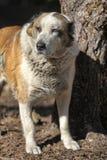 Παλαιό κεντρικό ασιατικό σκυλί ποιμένων Στοκ φωτογραφίες με δικαίωμα ελεύθερης χρήσης