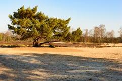 Παλαιό κωνοφόρο δέντρο με τη διάδοση των κλάδων Στοκ Εικόνες