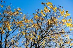 Παλαιό μεγάλο δέντρο στο υπόβαθρο χρώματος με το μπλε ουρανό Στοκ Φωτογραφία