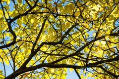Παλαιό μεγάλο δέντρο στο υπόβαθρο χρώματος με το μπλε ουρανό Στοκ εικόνες με δικαίωμα ελεύθερης χρήσης