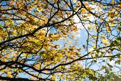 Παλαιό μεγάλο δέντρο στο υπόβαθρο χρώματος με το μπλε ουρανό Στοκ Φωτογραφίες