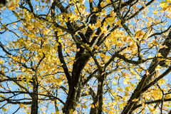 Παλαιό μεγάλο δέντρο στο υπόβαθρο χρώματος με το μπλε ουρανό Στοκ φωτογραφία με δικαίωμα ελεύθερης χρήσης
