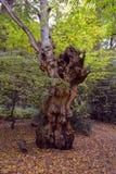 Παλαιό μεγάλο κολόβωμα στα ξύλα το φθινόπωρο Στοκ Εικόνα