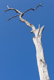 Παλαιό ξηρό δέντρο στο υπόβαθρο μπλε ουρανού Στοκ φωτογραφία με δικαίωμα ελεύθερης χρήσης