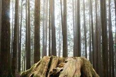 Παλαιό ξύλινο κολόβωμα θανάτου με την αύξηση δέντρων νέας γενιάς του backgro Στοκ Εικόνες