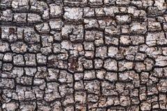 Παλαιό ξύλινο σχέδιο φλοιών υποβάθρου σύστασης δέντρων Στοκ Φωτογραφίες