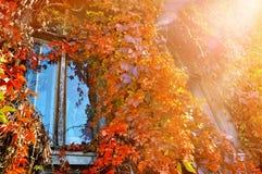 Παλαιό παράθυρο με τα άγριες σταφύλια και την ηλιοφάνεια Στοκ Φωτογραφίες