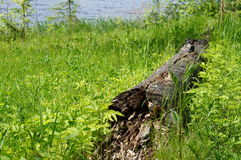 Παλαιό πεσμένο δέντρο και καταρρεσμένος στην πράσινη χλόη Στοκ Εικόνες