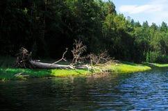 Παλαιό πεσμένο δέντρο στην όχθη ποταμού Στοκ εικόνα με δικαίωμα ελεύθερης χρήσης