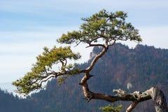 Παλαιό πεύκο λειψάνων στο βουνό Sokolica Στοκ Εικόνες