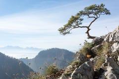 Παλαιό πεύκο λειψάνων στο βουνό Sokolica Στοκ Εικόνα