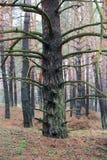 Παλαιό πεύκο στο δάσος Στοκ φωτογραφία με δικαίωμα ελεύθερης χρήσης