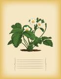 Παλαιό πρότυπο εγγράφου με το θάμνο φραουλών. Διάνυσμα Στοκ Εικόνα