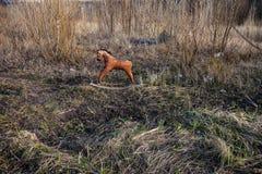 Παλαιό ριγμένο άλογο μακριά λικνίσματος Στοκ φωτογραφία με δικαίωμα ελεύθερης χρήσης