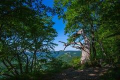Παλαιό δρύινο δέντρο σε κακό Urach Στοκ φωτογραφία με δικαίωμα ελεύθερης χρήσης