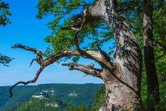 Παλαιό δρύινο δέντρο σε κακό Urach Στοκ εικόνες με δικαίωμα ελεύθερης χρήσης