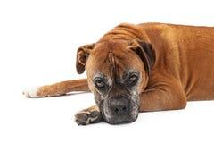 Παλαιό σκυλί μπόξερ που φαίνεται λυπημένο Στοκ Φωτογραφίες