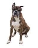 Παλαιό σκυλί μπόξερ Στοκ Εικόνες