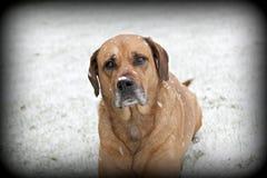 Παλαιό σκυλί στο χιόνι Στοκ Εικόνες