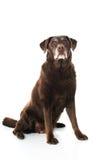 Παλαιό σκυλί Στοκ Εικόνα