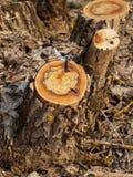 Παλαιά κολοβώματα στο ξύλο Στοκ φωτογραφία με δικαίωμα ελεύθερης χρήσης