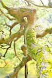 Παλαιό στριμμένο δέντρο πεύκων στο Κιότο Στοκ εικόνα με δικαίωμα ελεύθερης χρήσης