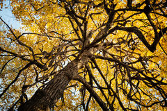 Παλαιό στριμμένο τρομακτικό δέντρο στο υπόβαθρο φθινοπώρου Παράξενοι στριμμένοι κλάδοι και κίτρινο φύλλωμα Στοκ Φωτογραφία