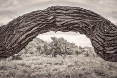 Παλαιό στριμμένο cottonwood δέντρο σε ένα φαράγγι ερήμων Στοκ Φωτογραφίες