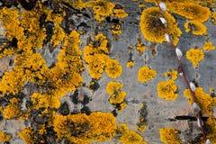 παλαιό τραχύ δάσος σύστασης Ξύλινη σύσταση Ξύλινη ανασκόπηση δέντρο λεπτομέρειας οι ακτίνες ανασκόπησης κλείνουν να καταρρίψουν τ Στοκ φωτογραφίες με δικαίωμα ελεύθερης χρήσης