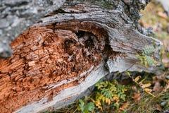 παλαιό τραχύ δάσος σύστασης Ξύλινος Υπόβαθρο Δέντρο ρωγμή εξωτικός Φύση Στοκ Εικόνα